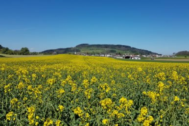 Rapsfeld Rickenbach 386x257 - Jodler Metzgete