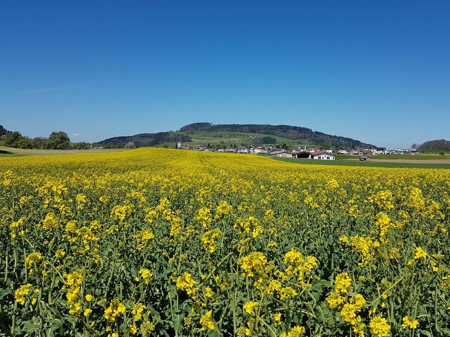 Rapsfeld Rickenbach - Die ruhig-ländliche Beschaulichkeit