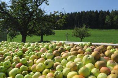 ApfelthemaNMG 2018 09 03 386x257 - Thema Apfel in NMG-Unterricht