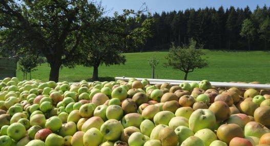 ApfelthemaNMG 2018 09 03 527x286 - Thema Apfel in NMG-Unterricht